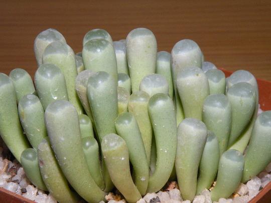 Fenestraria (Fenestraria rhopalophylla (Babys Toes))
