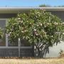 Plumeria rubra - unknown pink variety (Plumeria rubra - unknown pink variety)
