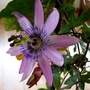 Passionflower in the Conservatory