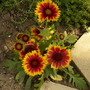 Gaillardia(Arizona Sun)