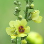 Verbascum, Sixteen Candles