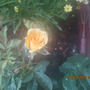 A new bloom~ yellow rose.
