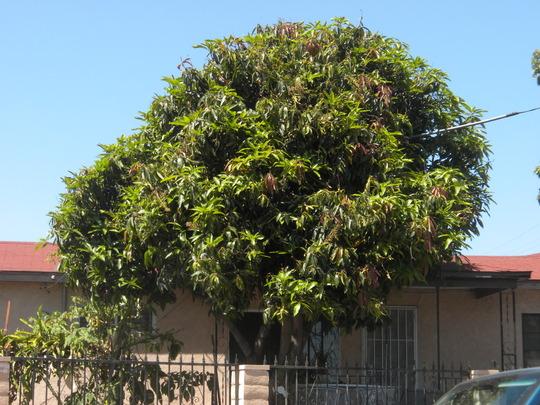Mangifera indica - Mango Tree (Mangifera indica - Mango Tree)