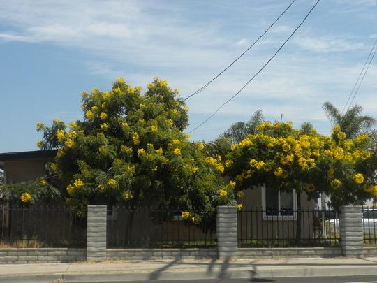 Cassia leptophylla - Gold Medallion Trees (Cassia leptophylla - Gold Medallion Tree)