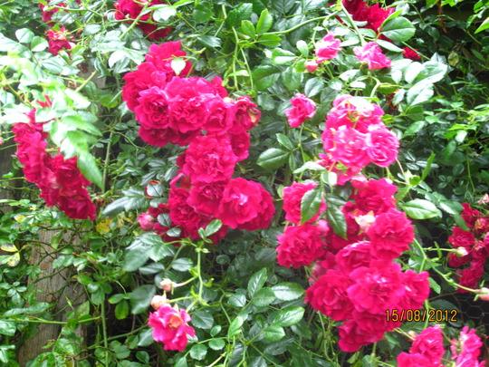 Rosa 'Crimson Shower' (Rosa 'Crimson Shower')