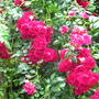 Rosa 'Crimson Shower' (Rosa 'Crimson Shower')
