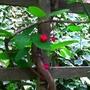 Berberidopsis corallina - 2012 (Berberidopsis corallina)