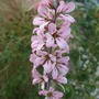 Francoa sonchifolia 'Pink Bouquet' (Francoa sonchifolia)