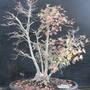 Japanese Maple Fall