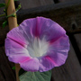 Ipomoea_morning_glory_