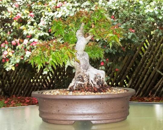 Koto hime (Japanese maple) (Acer palmatum (Japanese maple))