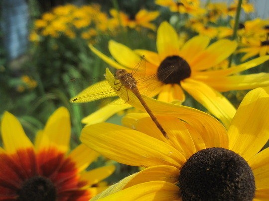 Rudbeckia and dragonfly (Rudbeckia fulgida (Black-eyed Susan))