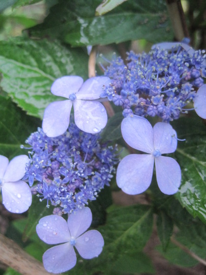 Summer Lace (hydrangea H. macrophylla)