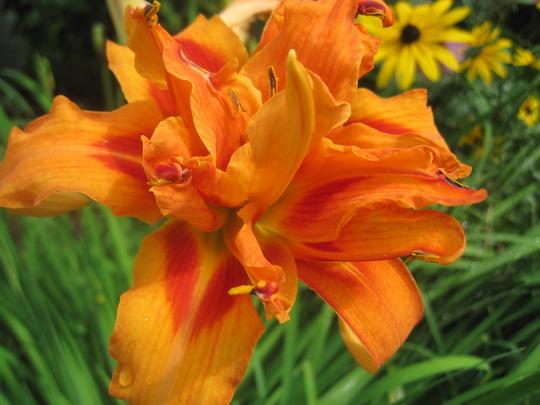 Fulva Flore Pleno daylily (hemerocallis)