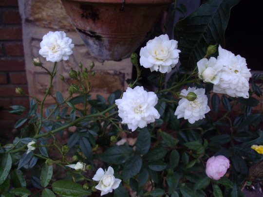 Jasmine Rose