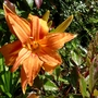 Hemerocallis 'Kwanso' I think, fully open flower.