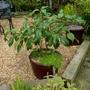 Viburnum Cinnamomifolium in it's pot. (Viburnum Cinnamomifolium)