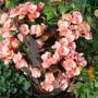 Begonia - unknown