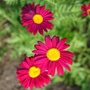 Tanacetum, Robinson Red