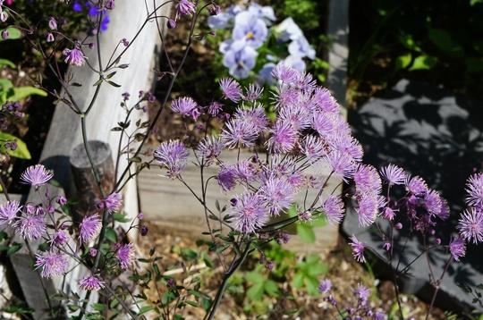 Meadow Rue, Thalictrum atropurpureum (Thalictrum aquilegiifolium (Meadow Rue))