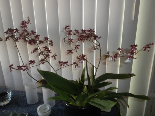 Oncidium 'Sharry Baby' - Chocolate Orchid (Oncidium 'Sharry Baby' - Chocolate Orchid)