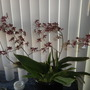 Oncidium 'Sharry Baby' - Chocolate Orchid (Oncidium 'Sharry Baby' - Chocolate Orchid)