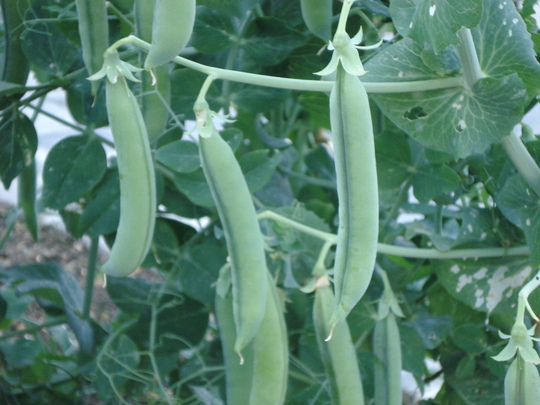 Lincoln pea plant (Lincoln peas)