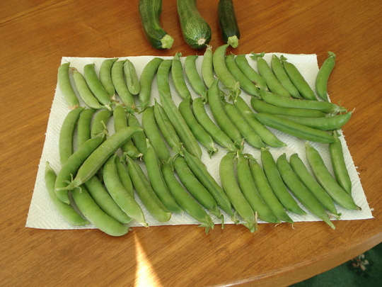 Lincoln peas - 2nd pickings (Lincoln peas)