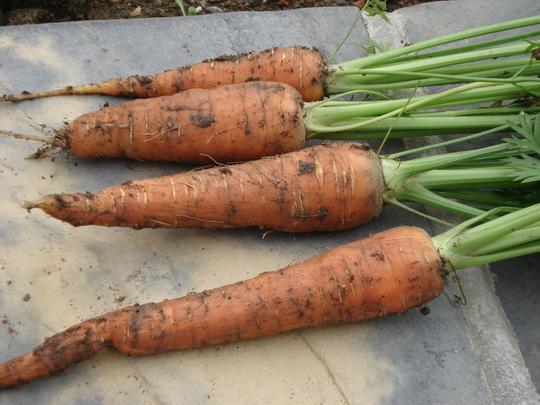 Carrots 2012 - 1st pickings (Carrots)