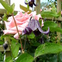 Rose Compassion and clematis Fascination