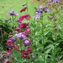 Campanula_and_penstemons_in_top_border
