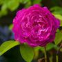 Reine (Rain?) des Violettes (Rosa)