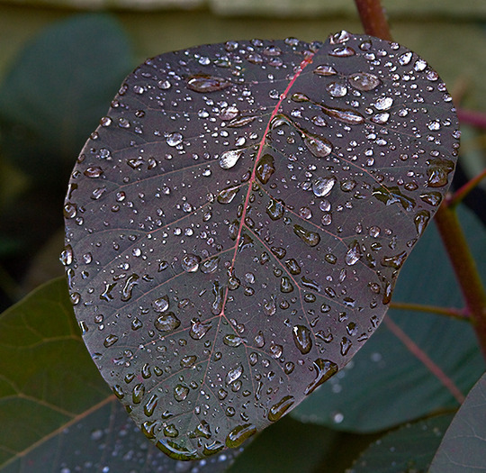 'Raindrops keep falling on my . . . leaves?' (Cotinus x Dummeri)