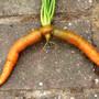 Rude_carrot