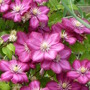 Clematis_.no_name
