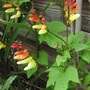 Mina lobata - Spanish Flag (Ipomoea lobata)