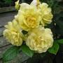 Rosa  'Chinatown' (Rosa floribunda  'Chinatown ')
