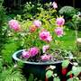 "Coronation Street  ""Hilda Ogden""        Patio Rose"