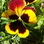 Another pansy (viola)