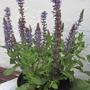 Salvia 'Merleau Blue' (Salvia superba (Salvia))