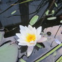 White water lily (Nymphaea odorata (Water lily))