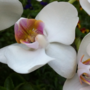 Close-up (Phalaenopsis)