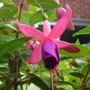 Fuchsia ? Hardy (Fuchsia ?)