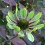Echinacea_green_envy_