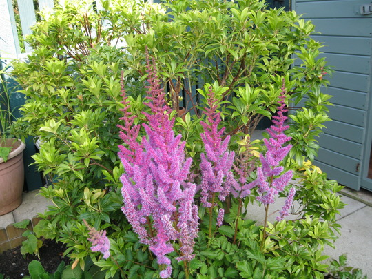 Astilbe Chinensis...Pumila.