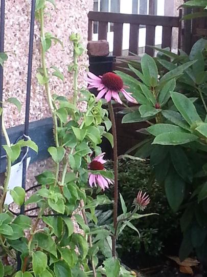Echinacea purpurea 'Bressingham Hybrids' (Echinacea purpurea)