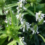 Stachys offininalis 'Wisley White' (Stachys officinalis)