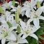 Stargazer Lilies (Lilium henryi (Lily))