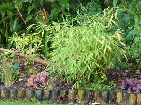 Dwarf Fargesia (Fargesia murieliae (Muriel bamboo))