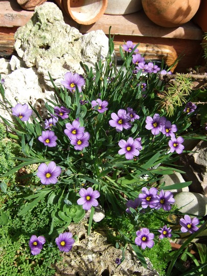 Sysyrinchium in Grenville and Alan's garden